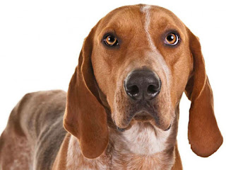 Everything about your American English Coonhound