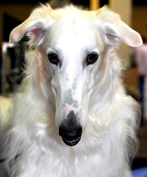 A Borzoi Dog Excitement N Net: Giga...