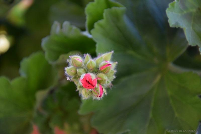 Pelargonium zonale_Geranio