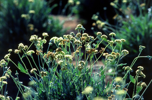 Guayule (Parthenium argentatum)