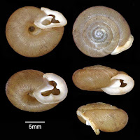 http://sciencythoughts.blogspot.co.uk/2015/02/a-new-subspecies-of-polygyrid-snail.html