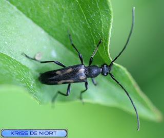 Lepture à 6 taches - Anoplodera sexguttata