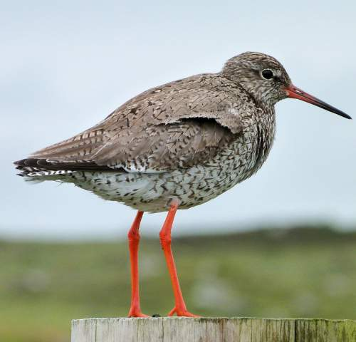 Birds of India - Photo of Common redshank - Tringa totanus