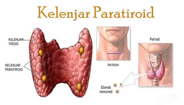 Jenis dan Fungsi Hormon pada Kelenjar Tiroid dan Kelenjar Paratiroid