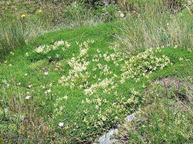 Astragalulus angustifolius.