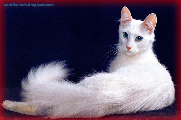 Cara Merawat Kucing Anggora Yang Benar dari Ahli Terpercaya