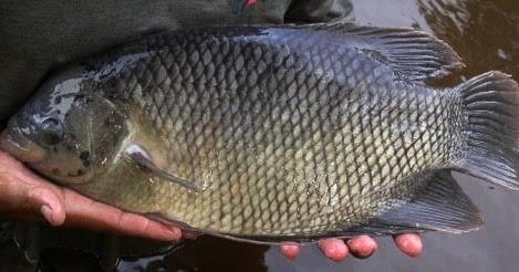 Ciri Morfologi Dan Habitat Ikan Gurame Jenis Tanaman Hidroponik