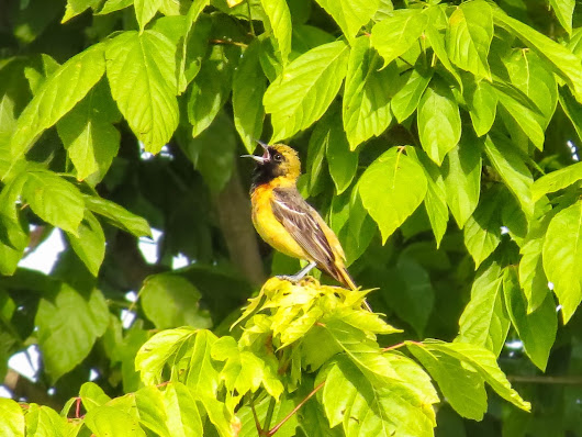 ORCHARD ORIOLE: 06/10/2017