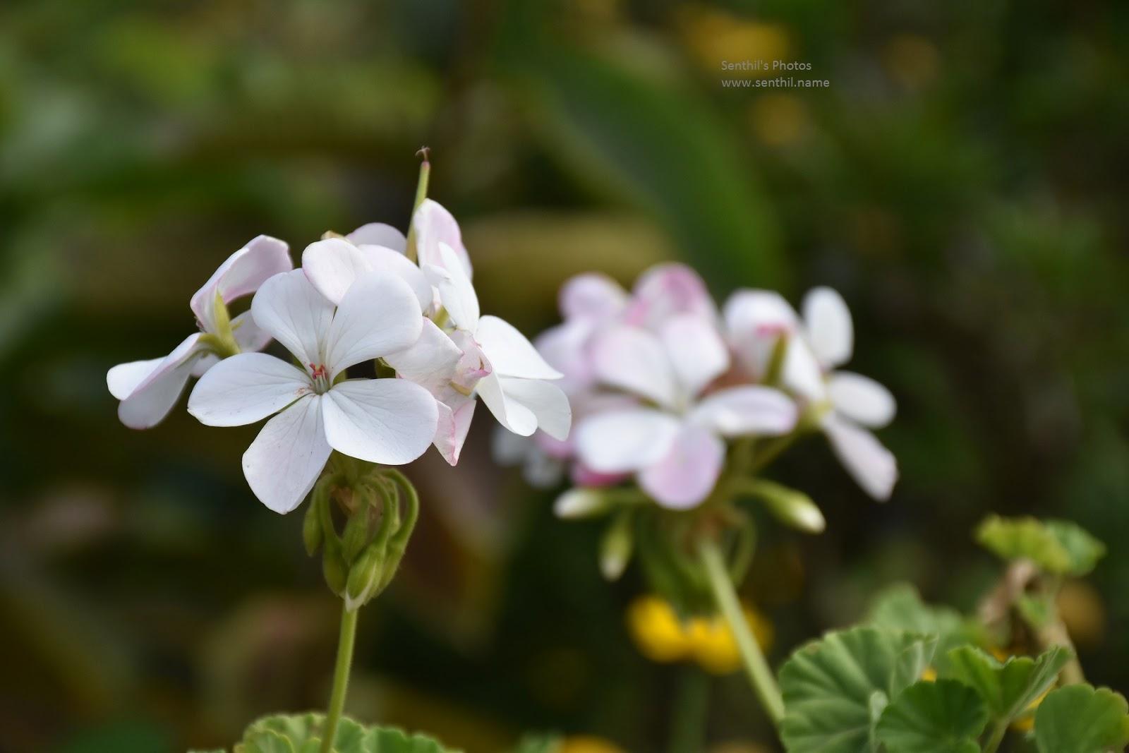 A Beautiful Flower In Kodaikanal Senthils Photos