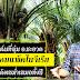 สวนปาล์มที่ลุ่ม อ.ชะอวด พันธุ์ คอมแพ็ค ไนจีเรีย ได้ผลผลิตสม่ำเสมอทั้งปี