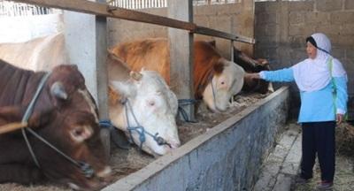 Jamu Untuk Meningkatkan Bobot Ternak Sapi