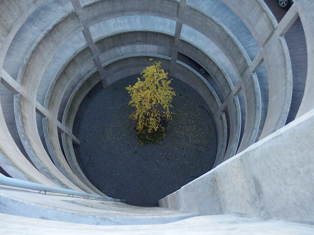 Ginkgo biloba at Cabot Circus car park in Bristol
