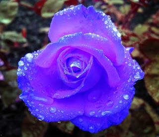 Gambar Bunga Mawar Cantik 1