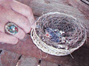 Burung Ciblek - Kisah Iwan Lippo Cikarang yang Sukses Ternak Burung Ciblek - Penangkaran Burung Ciblek