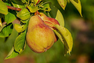 Benefits of Good Pear fruits for Body Health