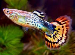Jenis Ikan Hias Air Tawar Guppy