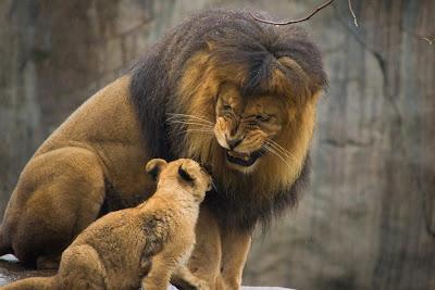 León papá queriéndole a león cachorro