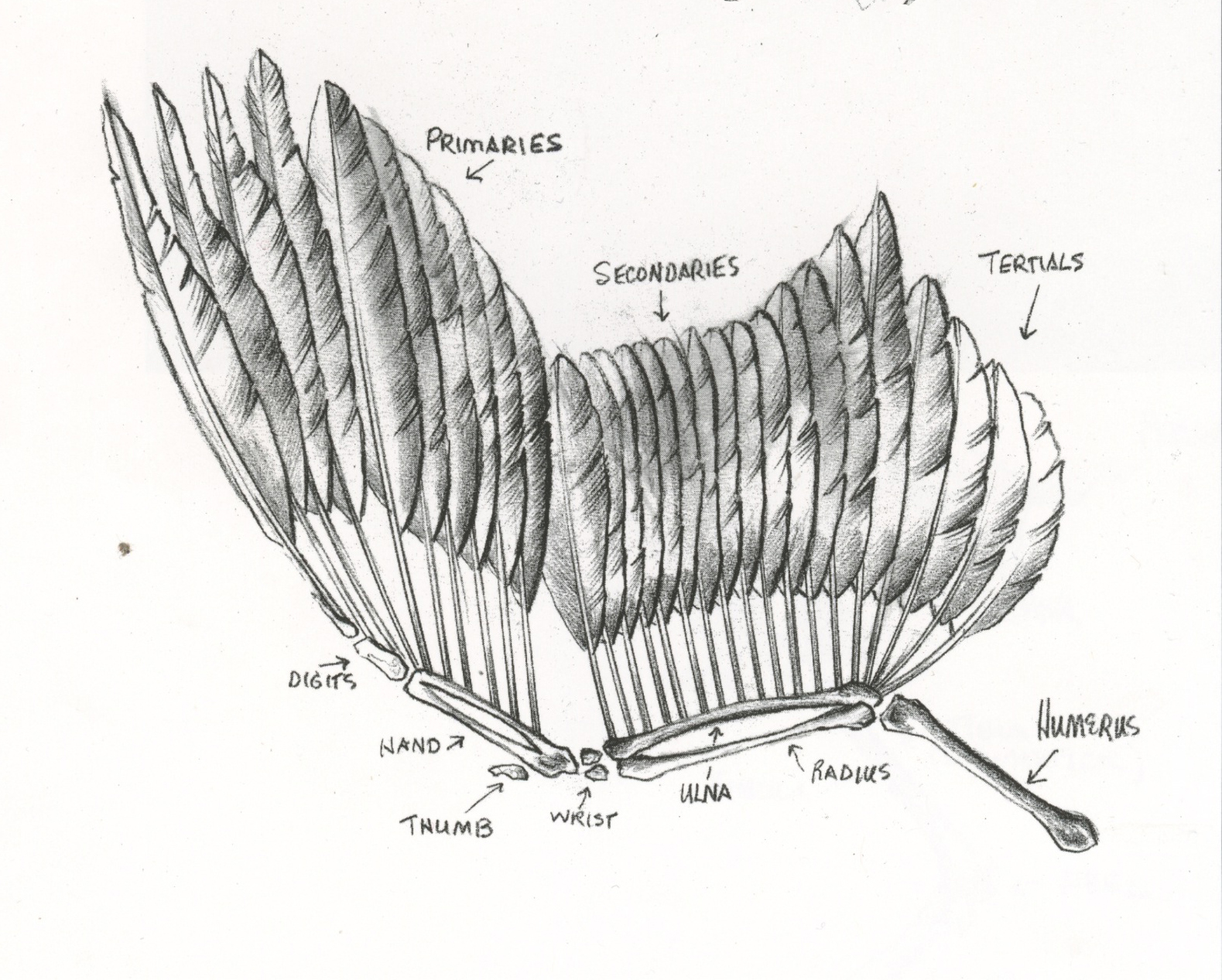 medium resolution of drawing copyright sandy scott more about the bird s anatomy