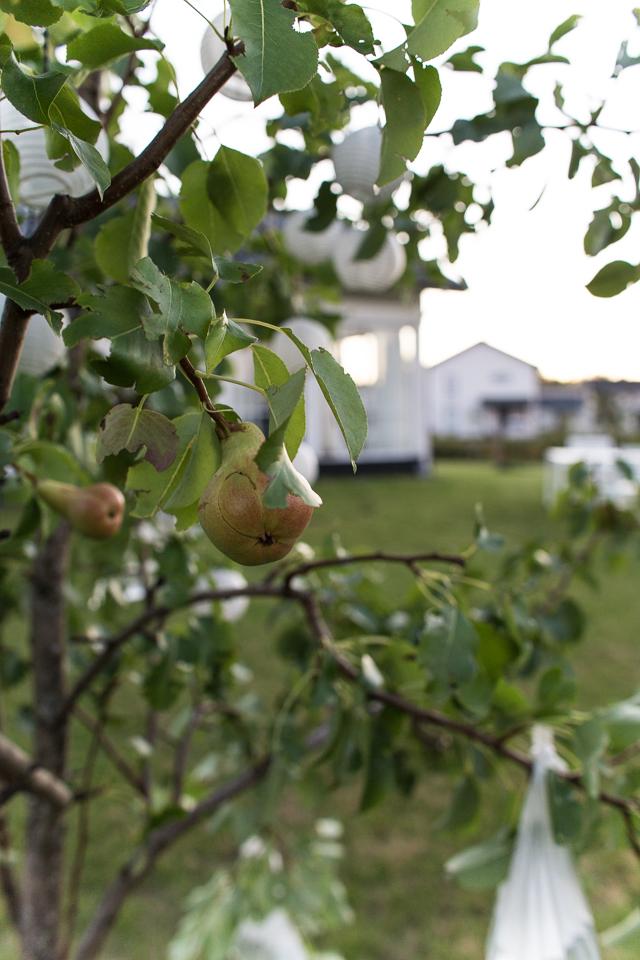 Villa H, päärynäpuu
