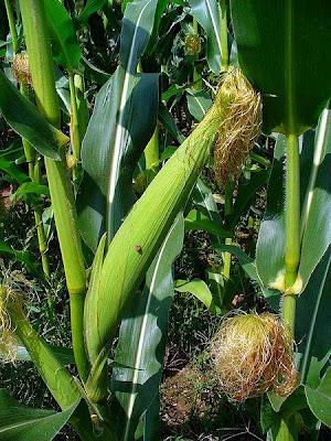 maiz-mazorcas-barbas-inflorescencias