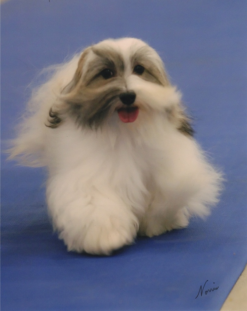 Gallery Puppy Pictures Havanese Puppy Pictures Information