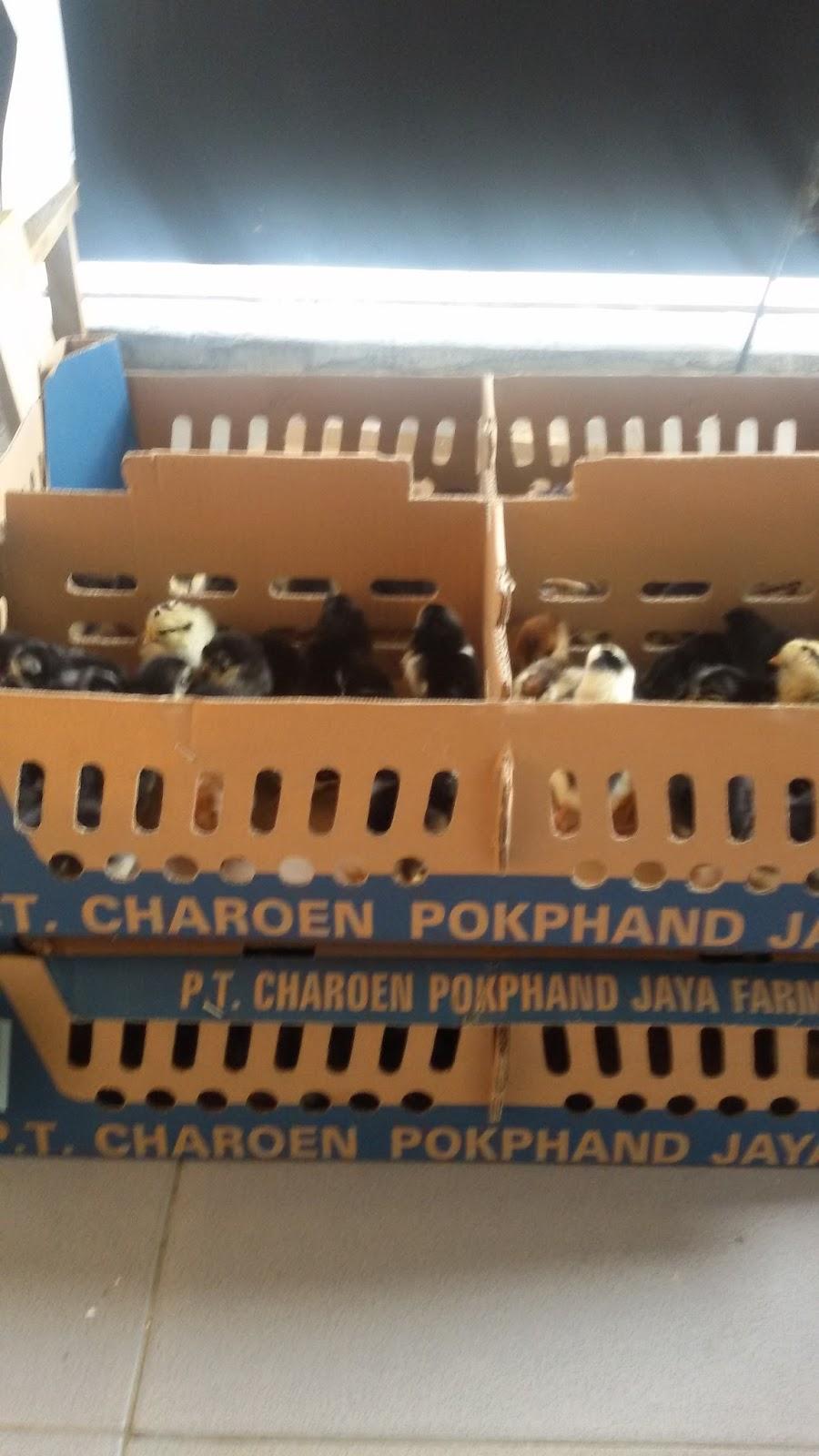Menyediakan DOC Ayam Kampung Asli