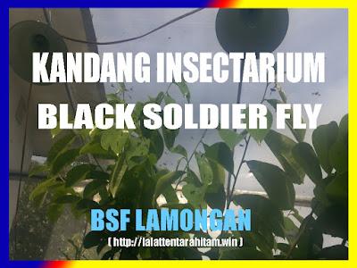 Kandang Insectarium BSF