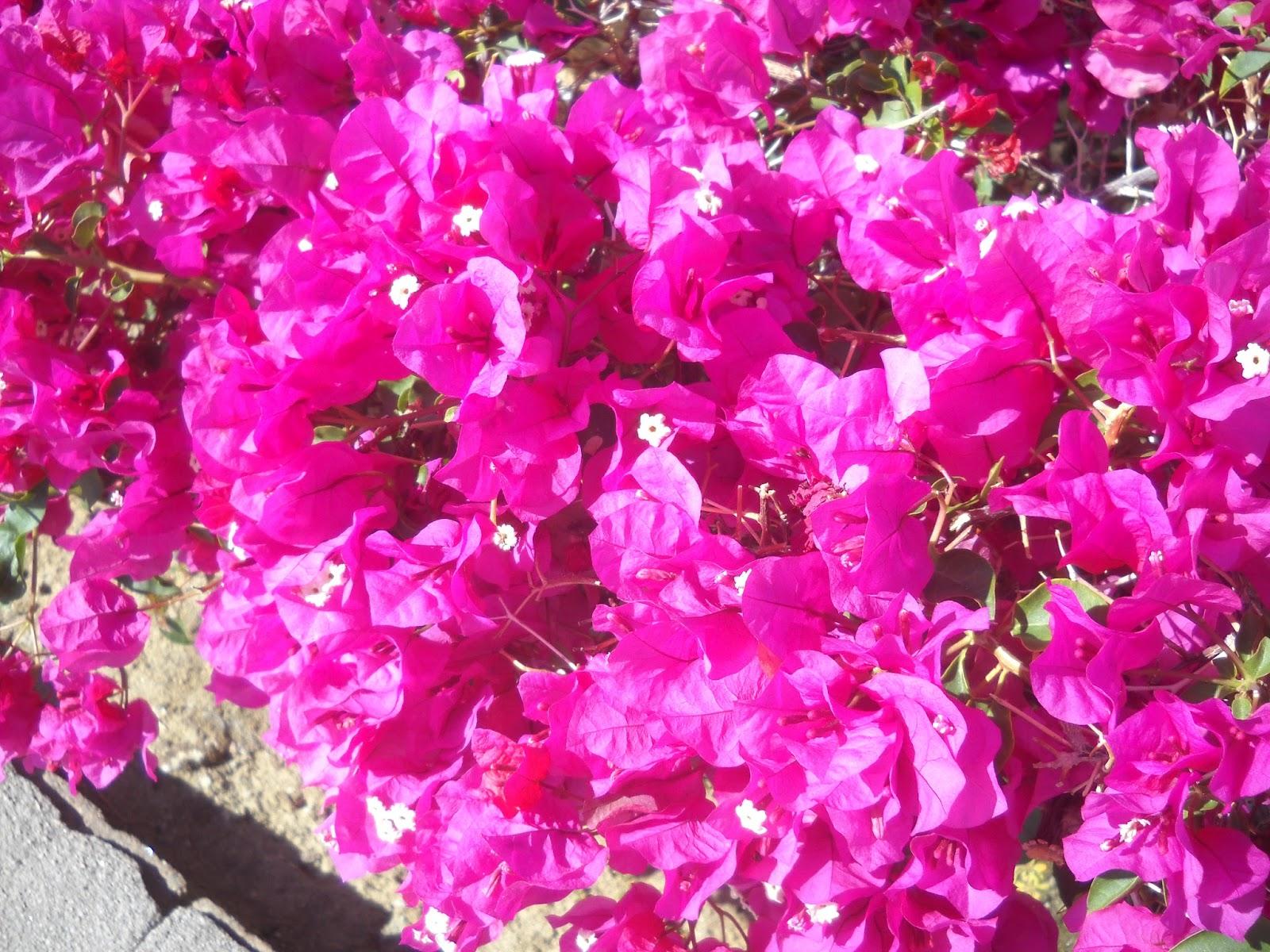 Melody Crust Fiber Artist Bougainvillea A Most Beautiful Flower