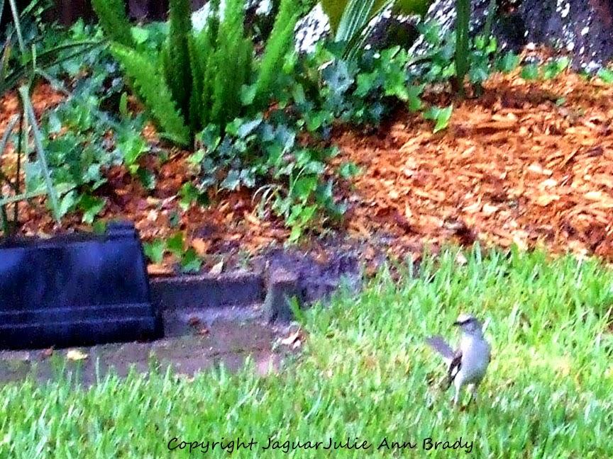 Adult Mockingbird in Grass Guarding Nest Perimeter