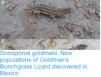 http://sciencythoughts.blogspot.co.uk/2016/12/sceloporus-goldmani-new-populations-of.html