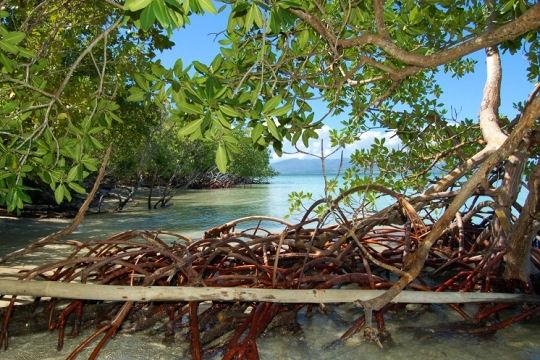 Mangrove dans le parc national de Guadeloupe