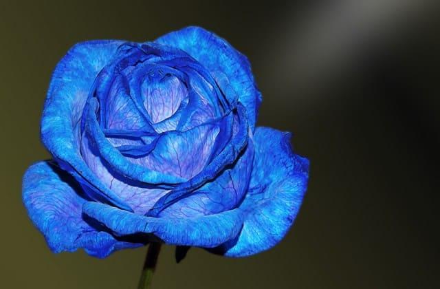bunga mawar biru menawan