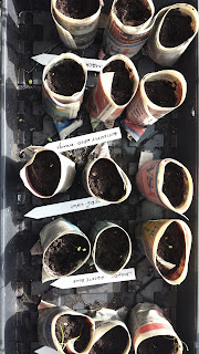 Tray of fifteen paper pots filled with medium in a tray, seed markers