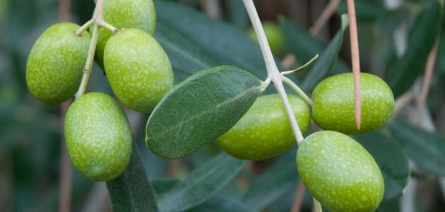كيفية استخدام اوراق الزيتون في علاج السكر