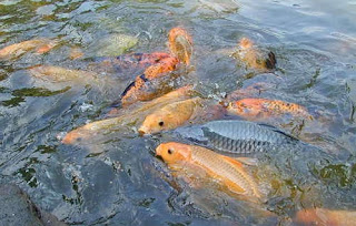 contoh surat permohonan budi daya ikan