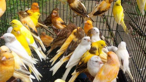 Mengenal Jenis Jenis Burung Kenari Plus Foto New Johny Wuss