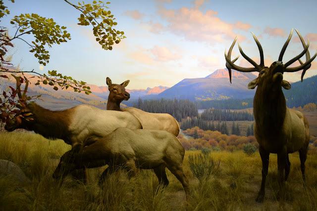 Вапіті.Американський музей природознавства, Нью-Йорк(American Museum of Natural History, NYC)