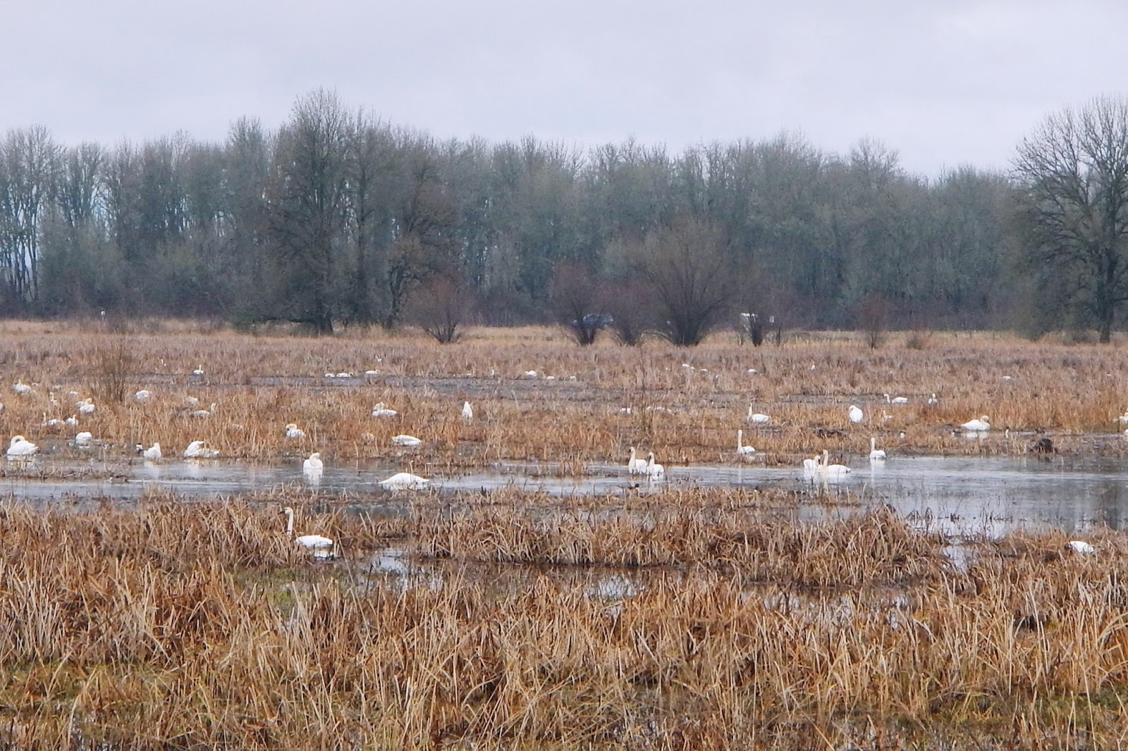 Dusky Swans in Winter - Search the 98685 Zip Code for Homes For Sale - Vancouver WA