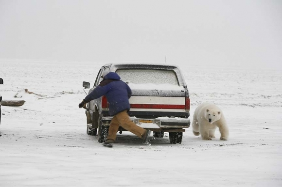 Oso Polar Blanco