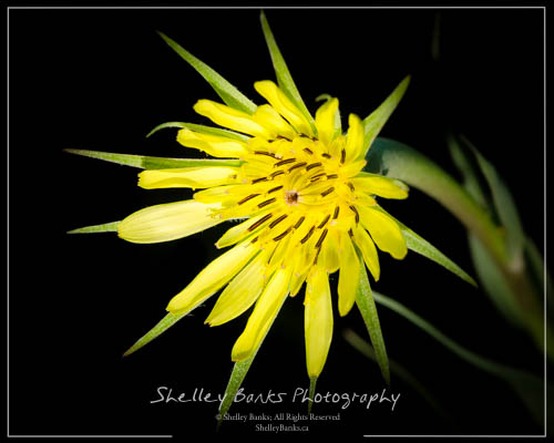 Goat's-beard flower - Western Salsify, Tragopogon dubius. Copyright © Shelley Banks, all rights reserved.