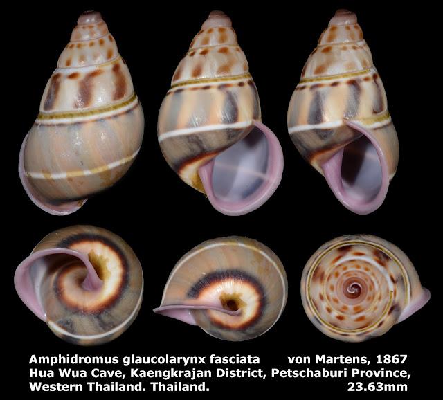 Amphidromus glaucolarynx fasciatus 23.63mm