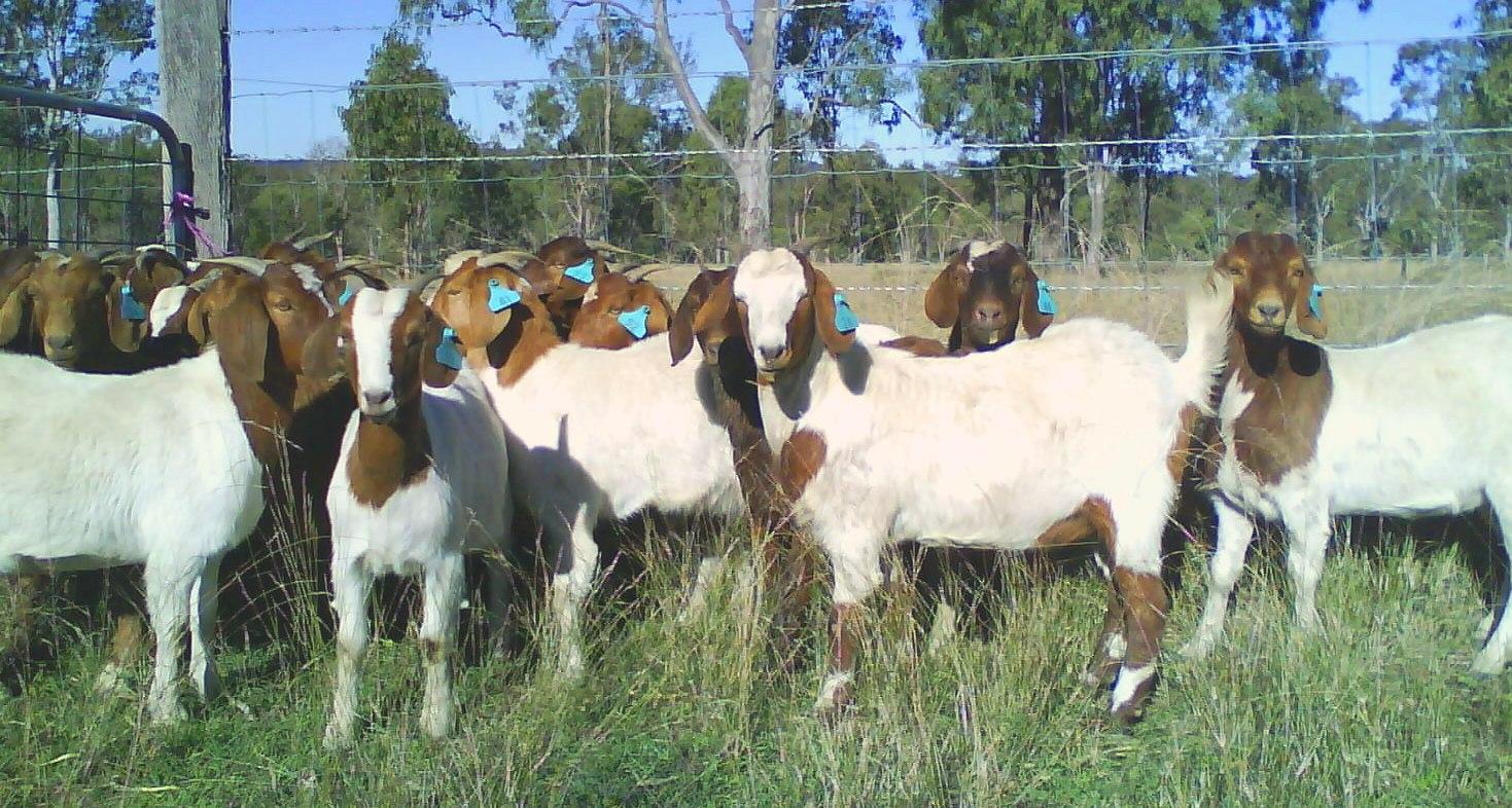 Goat Farming | WILD LIFE OF PAKISTAN