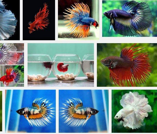 Ikan Hias Terbesar