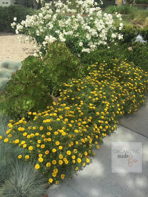 Gold coin daises in front yard drought tolerant landscape :: OrganizingMadeFun.com