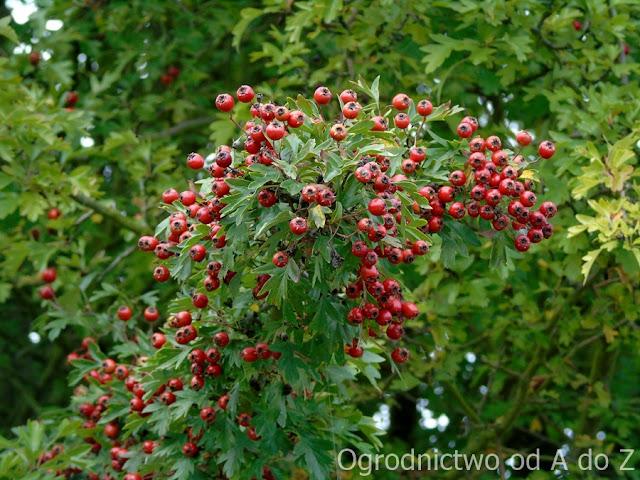 Crataegus- fruits
