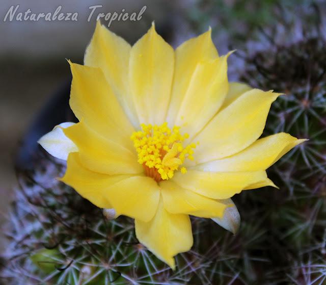 Detalles de la flor del cactus Mammillaria beneckei