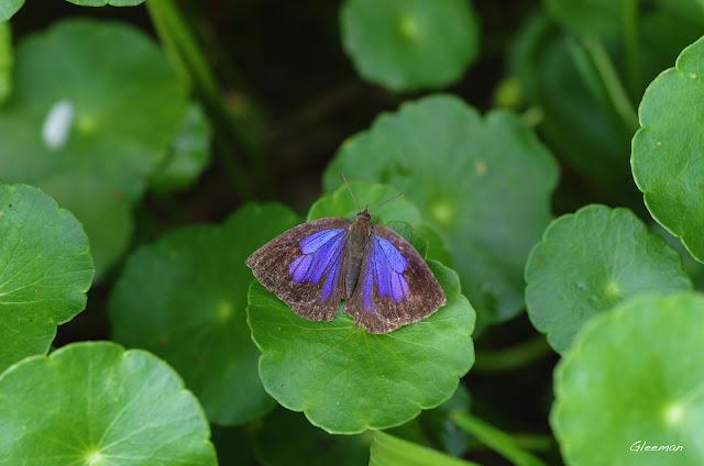 雞南山散步,紫小灰蝶