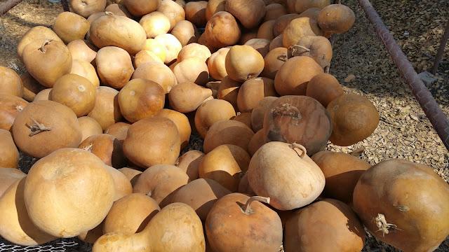 Gourd Farm