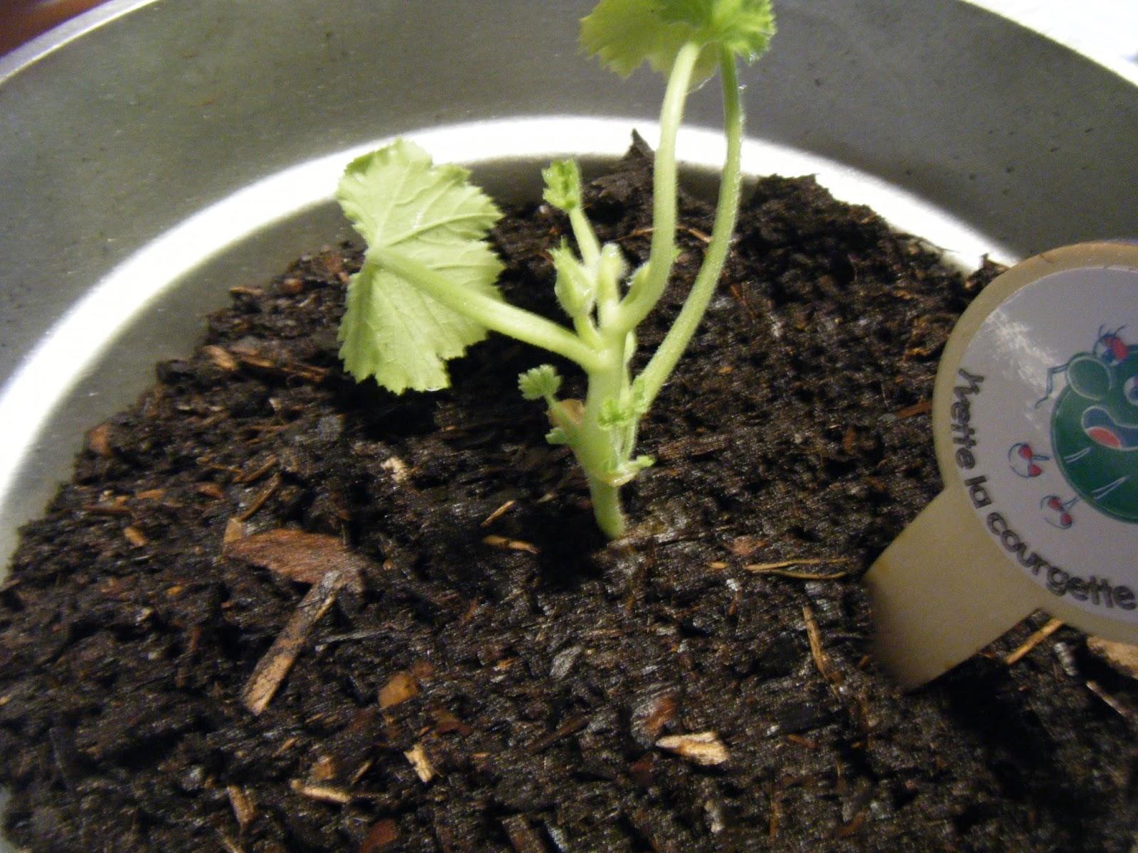 Les taratatas de sandra le kitkipouss des petits radis - Cuisiner courgettes rondes ...