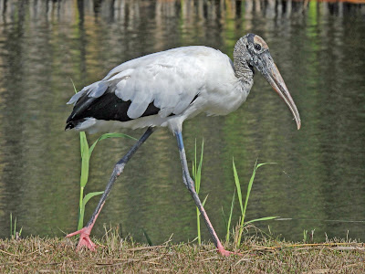 Wood Stork | facts | diet